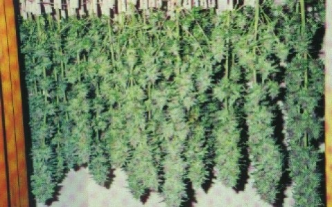 curing-marijuana