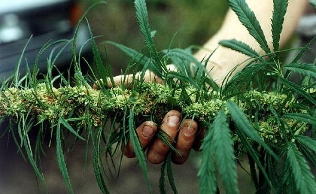 harvesting weed