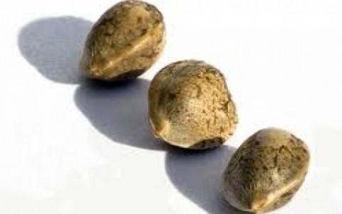 mj seeds 3