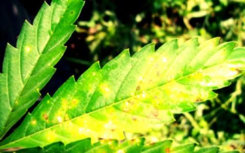 Verticillium_Wilt_in_marijuana
