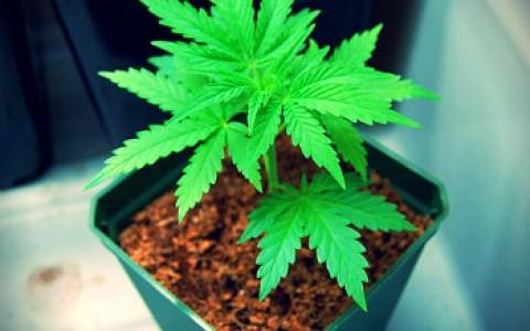 beginner weed