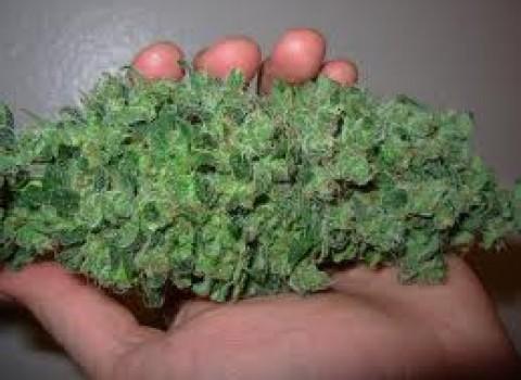 harvesting-marijuana
