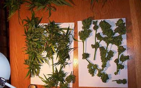 marijuana dry