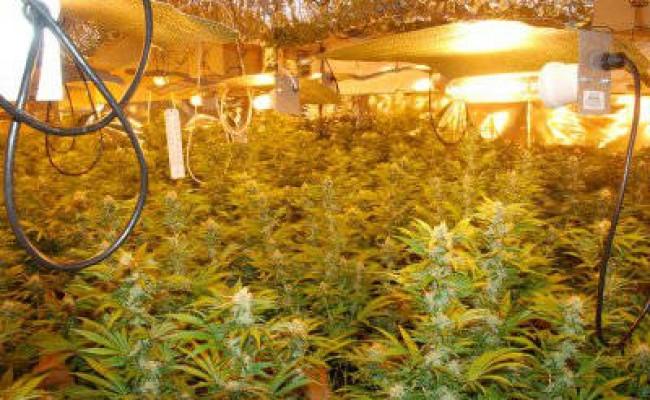 marijuana-hydroponics